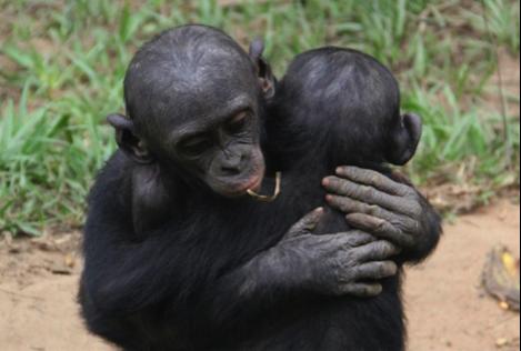 bonobos.2png