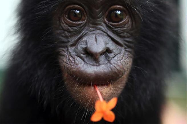 bonobos3