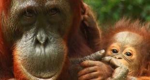 orangutan-520x245