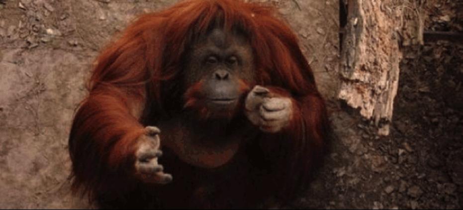 orangutan lola