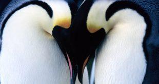 Pareja_pinguino_emperador