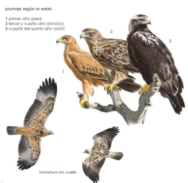 aguila3. png