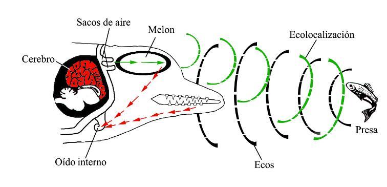 ecolocalizacion