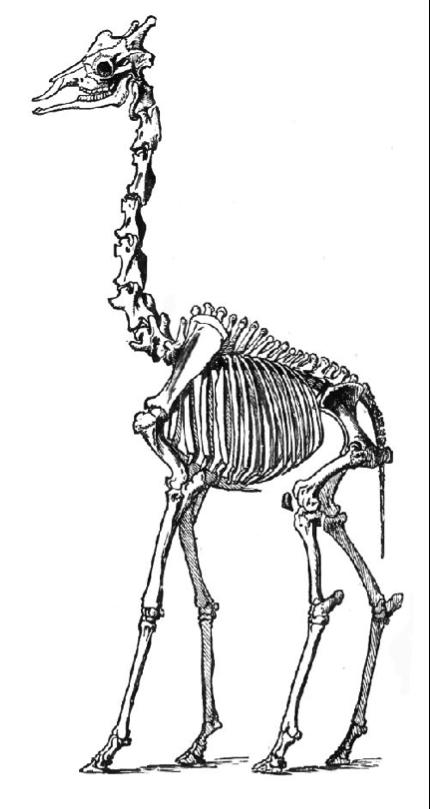 esqueleto jirafa