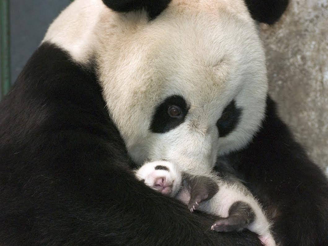 mama e hijo panda