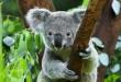 portada koala