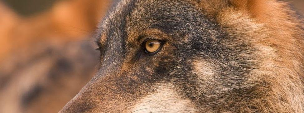 Lobo-iberico_2