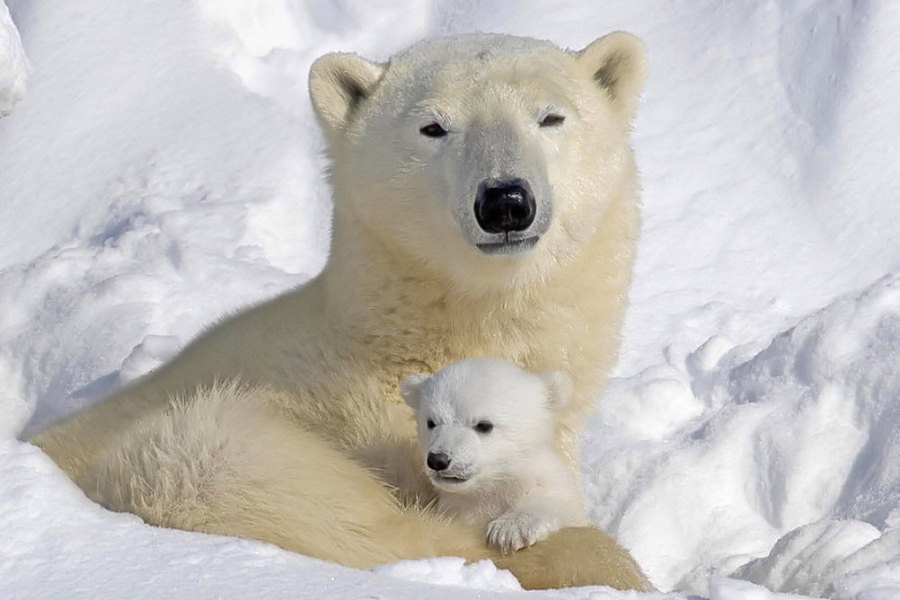 Oso_polar_madre,_cria.portada
