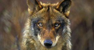 lobo portada