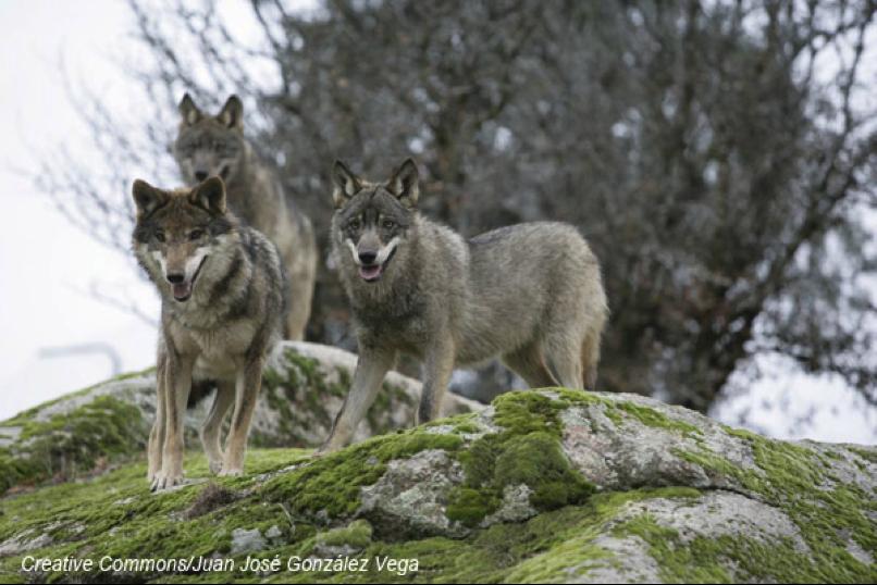 manada adulta lobo