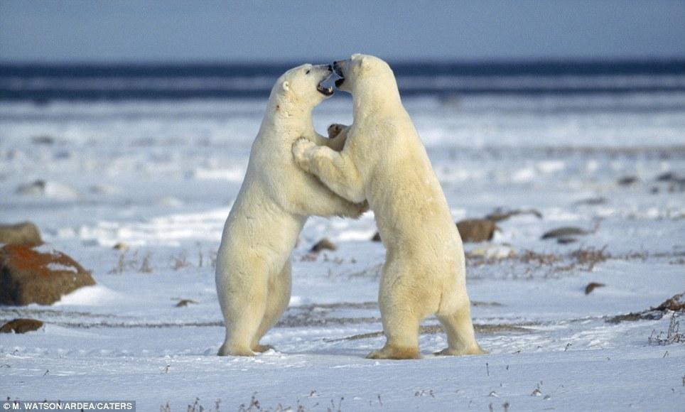 oso polar luchando