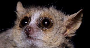 lemur-raton-2