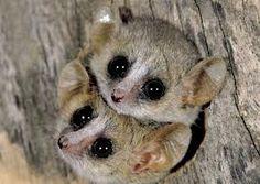 lemures-hueco-arbol
