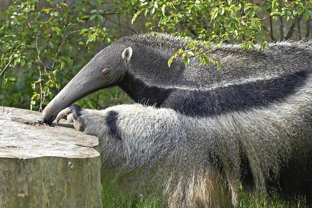 oso-hormiguero-comiendo