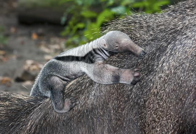 oso-hormiguero-cria