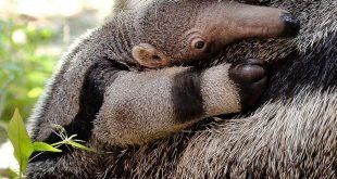 oso-hormiguero-portada