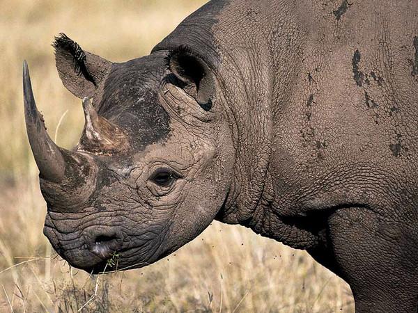 primer-plano-rinoceronte-negro-nath