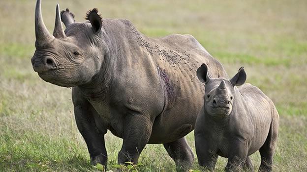 rinoceronte-negro