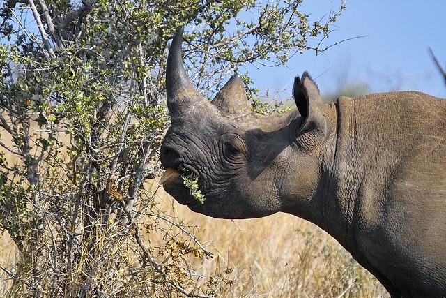 rinoceronte_negro_arnaud_y_louise_wildlife